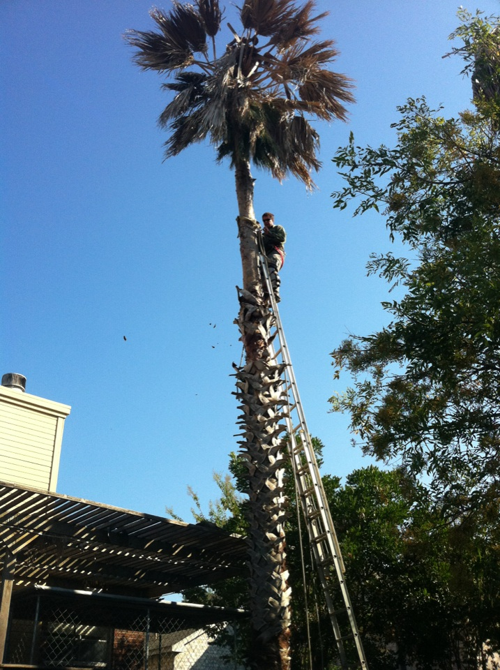 Palm Tree Pruning Removes Stalks Fronds