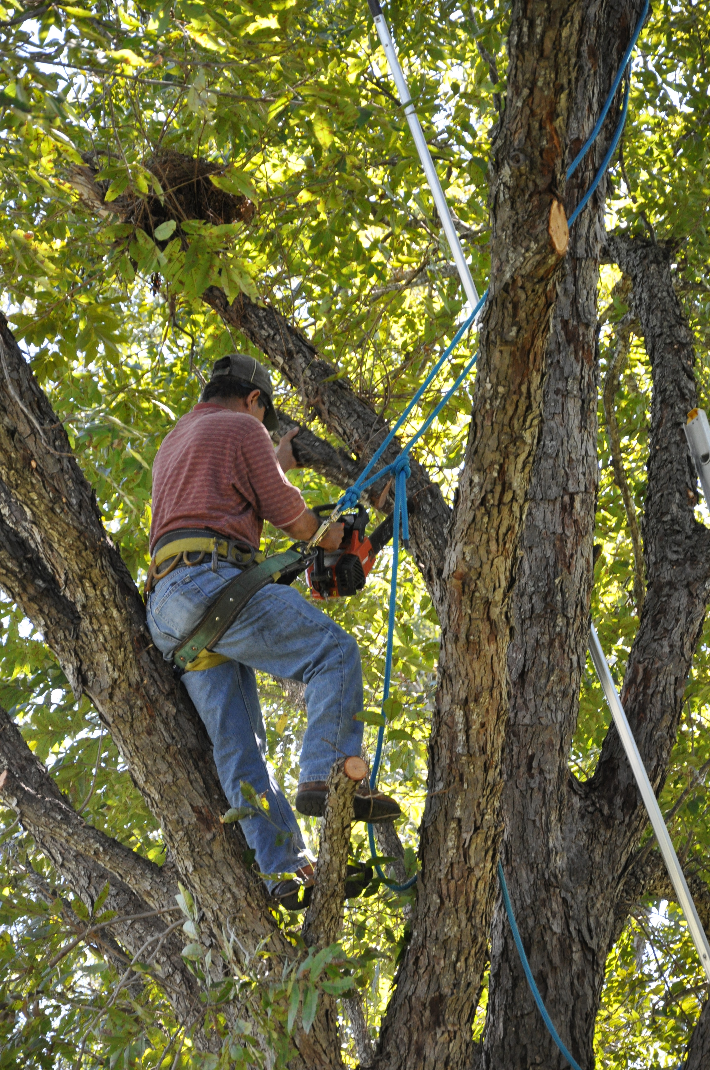 Tree Trimming Techniques & Tree Trimming Techniques--Tree Trim-Canopy Tree Service (210) 441-7071