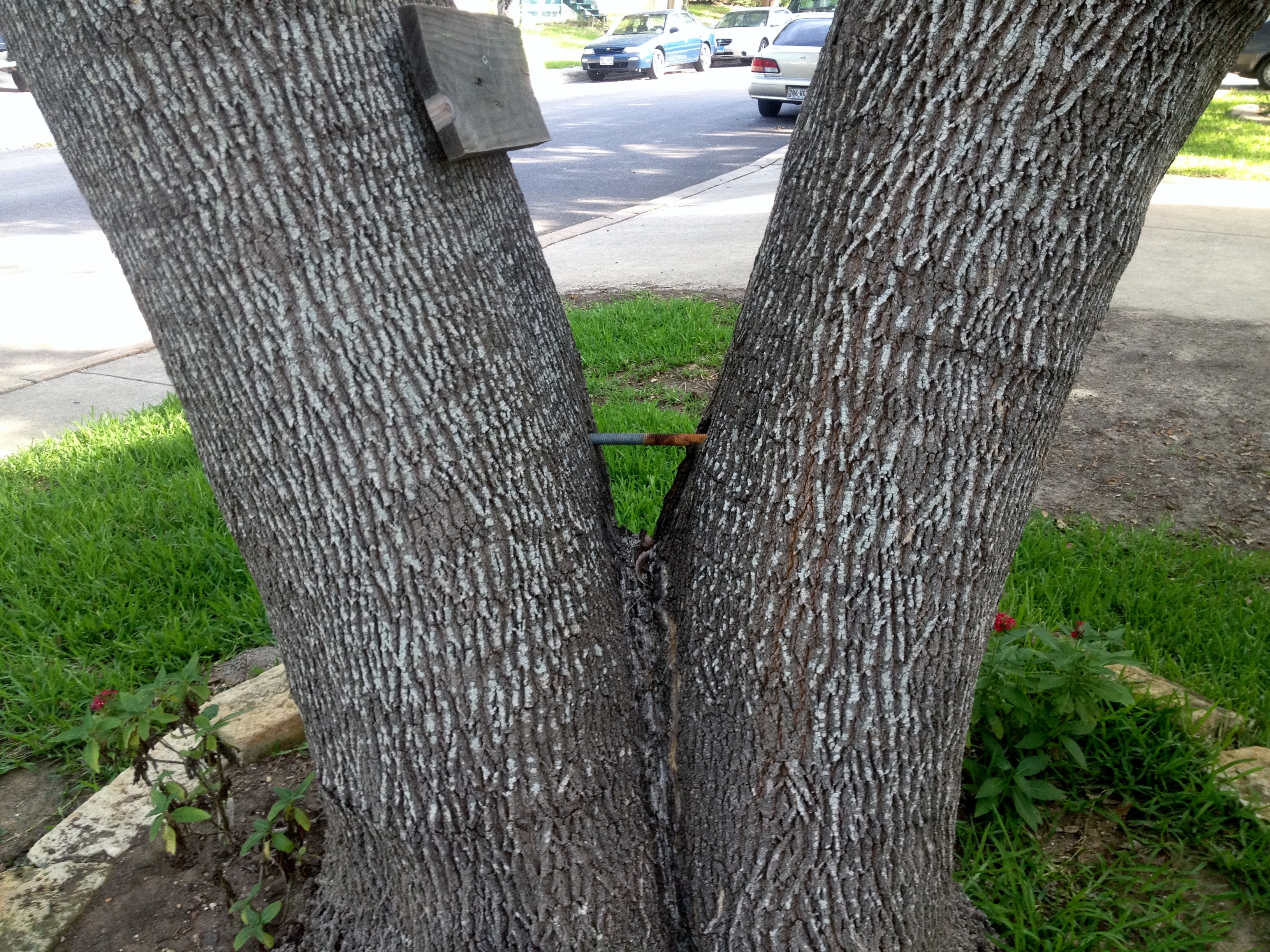 Tree Bracing & Tree bracing--Canopy Tree Service in San Antonio (210) 441-7071