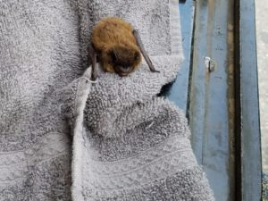 Bat rescued from tree being taken down.
