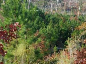 New Pine Growth on the North Face of a slope is evidence if tree regeneration..